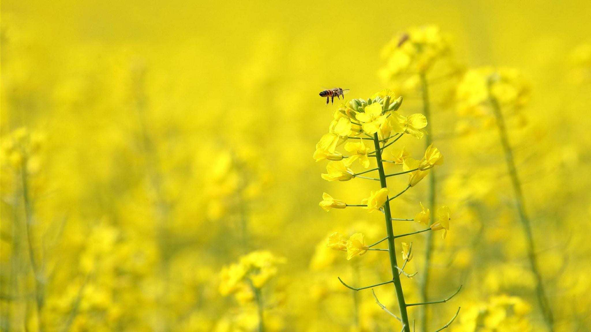 2048×1152 Bee Honey Animals Honey Bee On Yellow Flower 19413