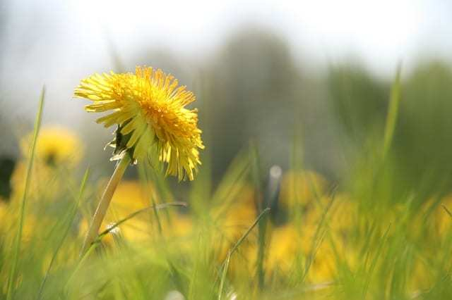 Dandelion For Better Health