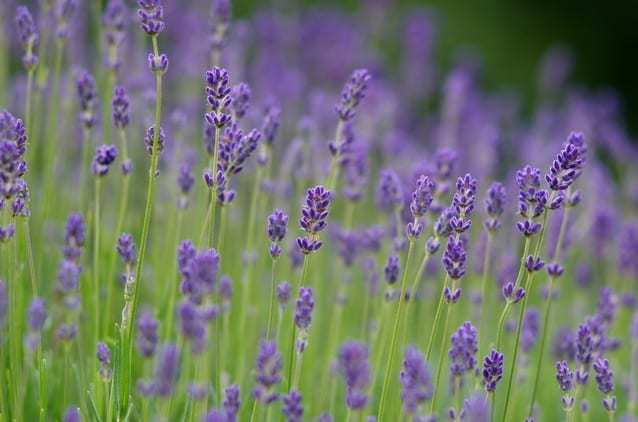 Lovely Lavender – Why We Love It So Much!
