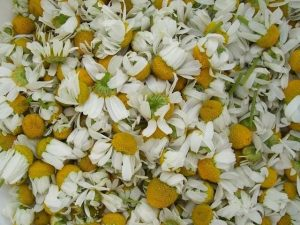 Read more about the article Characteristically Chamomile