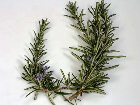 Why Rosemary Is Ideal For Dermatitis, Acne, Eczema And  Psoriasis